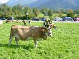 Almabtrieb 2005_7
